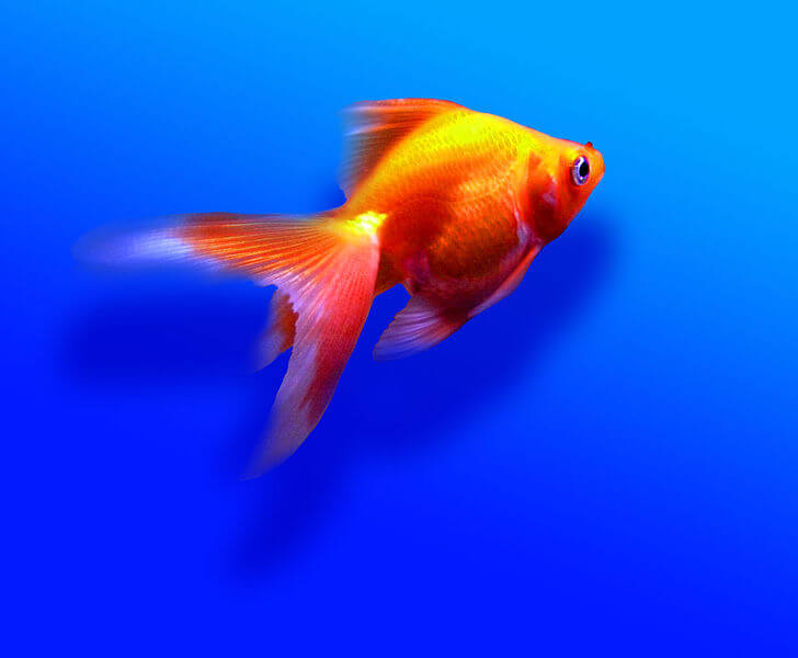 Living Room Pic5Goldfish Fantail Feng Shui