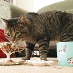 A large gray tabby cat sneaks a sip from a floral print teacup. A mug with cartoon cat faces sits to the side.