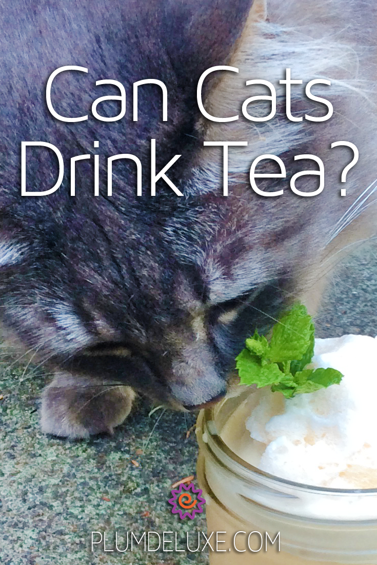 A gray long-haired cat sniffs the edge of a glass jar filled with a black tea smoothie. The overlay text reads: can cats drink tea?