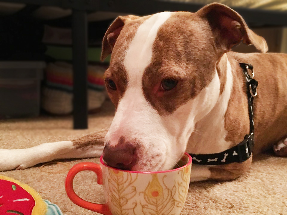 A brown and white dog drinks from a white and orange floral teacup.