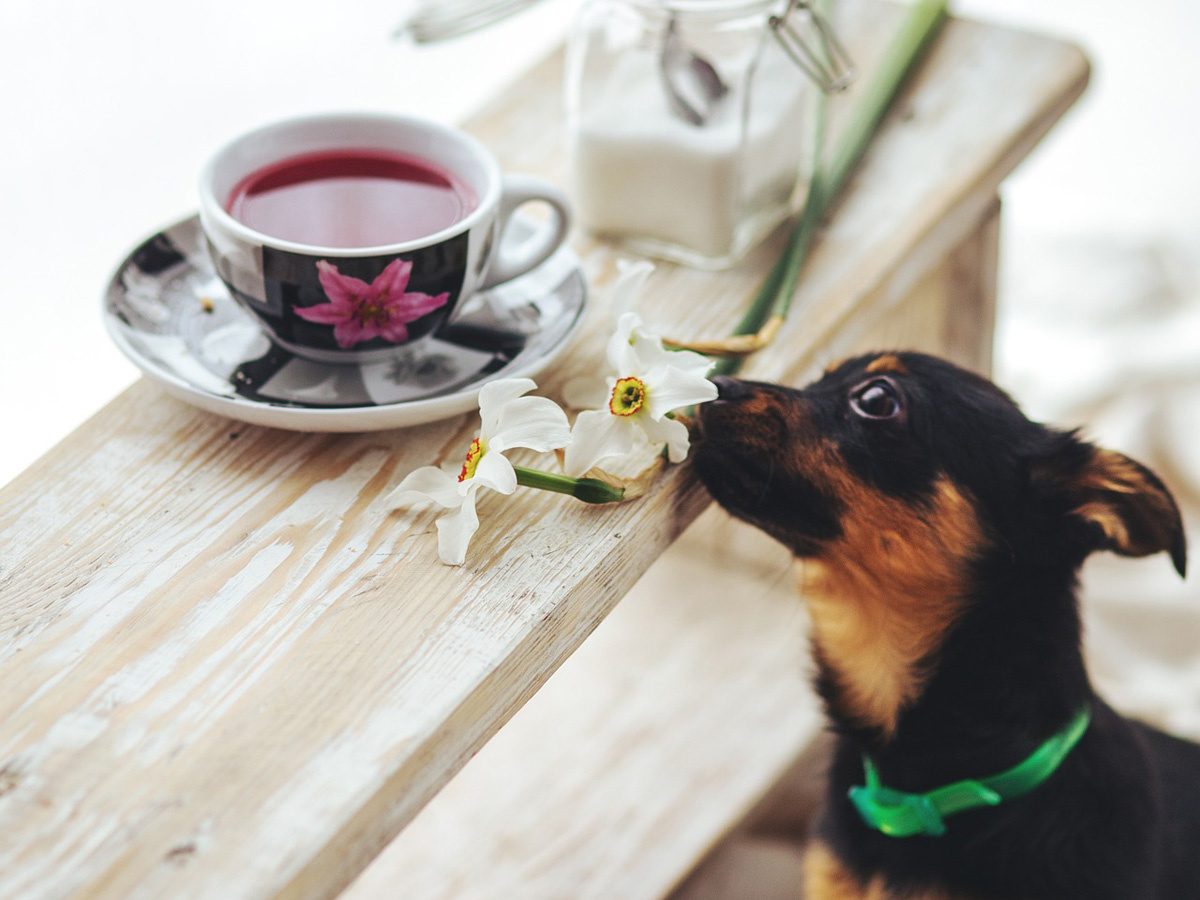 A small black and brown dog reaches its nose toward a cup of tea and small bunch of flowers.
